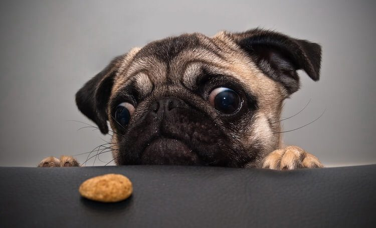 Pug Dog Eating Food