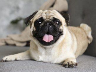 Pug Feature