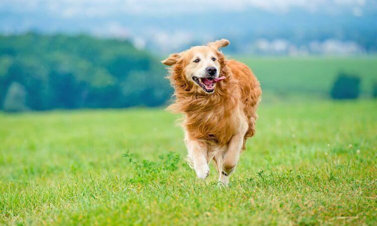 Red Golden Retriever Running