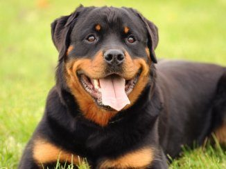 Rottweiler Feature