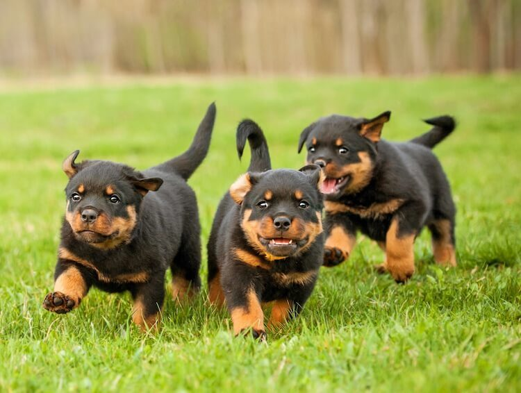 Three Rottweiler Puppies