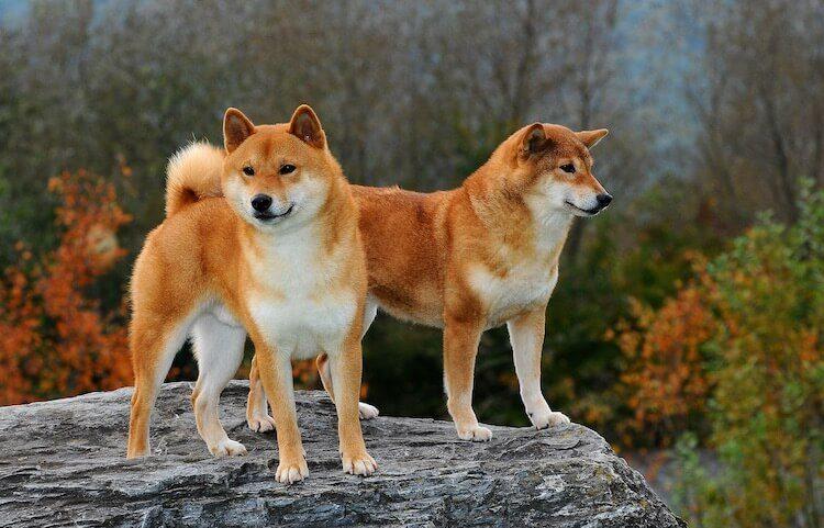 Two Akitas
