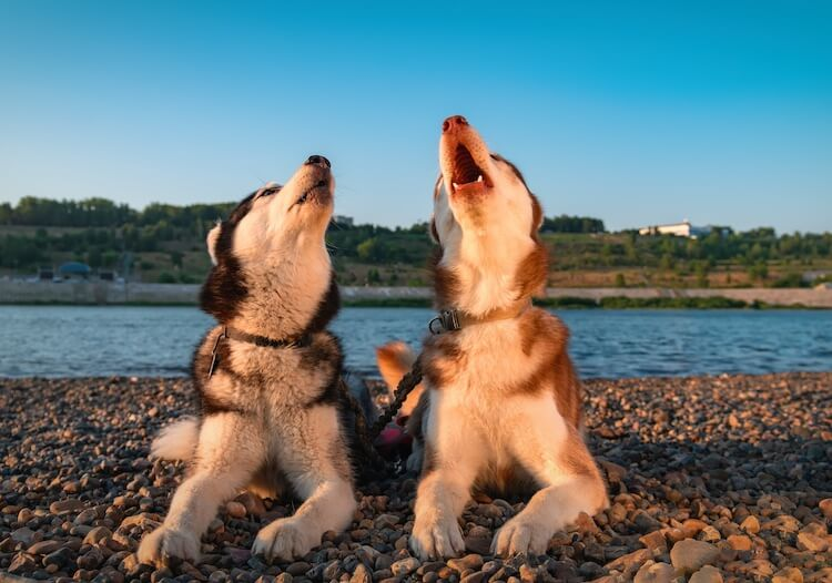 Two Dogs Howling at Sirens