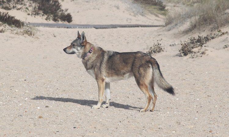 Utonagan Wolf