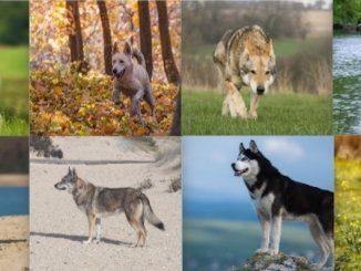 Wolf Dog Collage