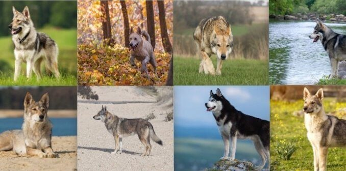 Wolf Dog Collage