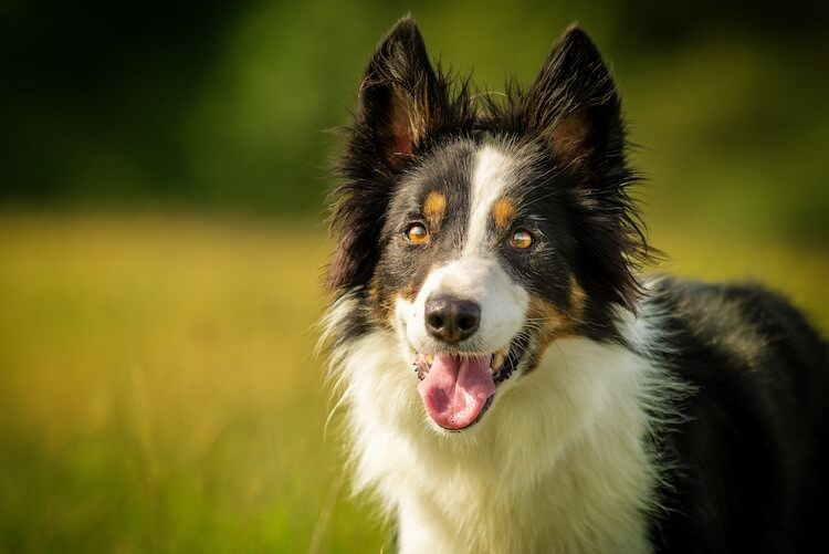 Chiens Border Collie