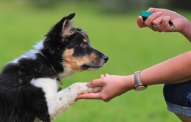 Clicker Training A Border Collie