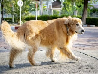 Golden Retriever's Dog Tail