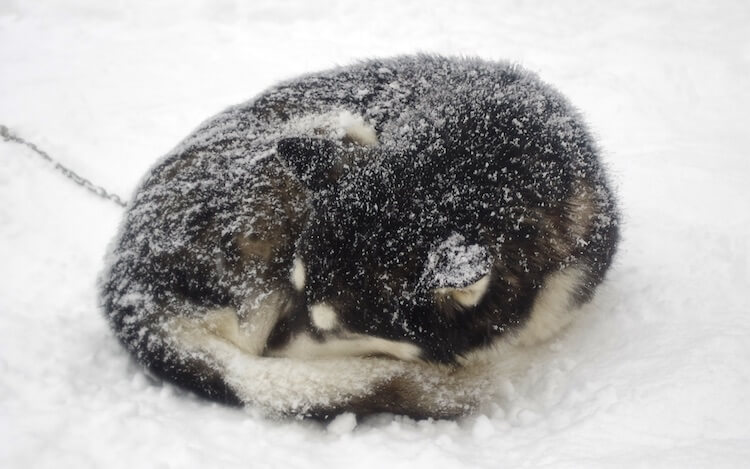 Husky Covering His Face With His Tail