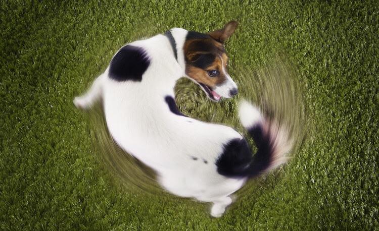 Terrier Dog Chasing His Tail