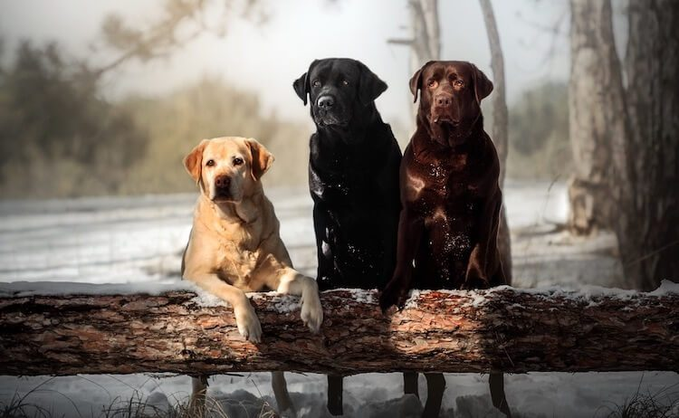 Three Labrador Retriever Dogs