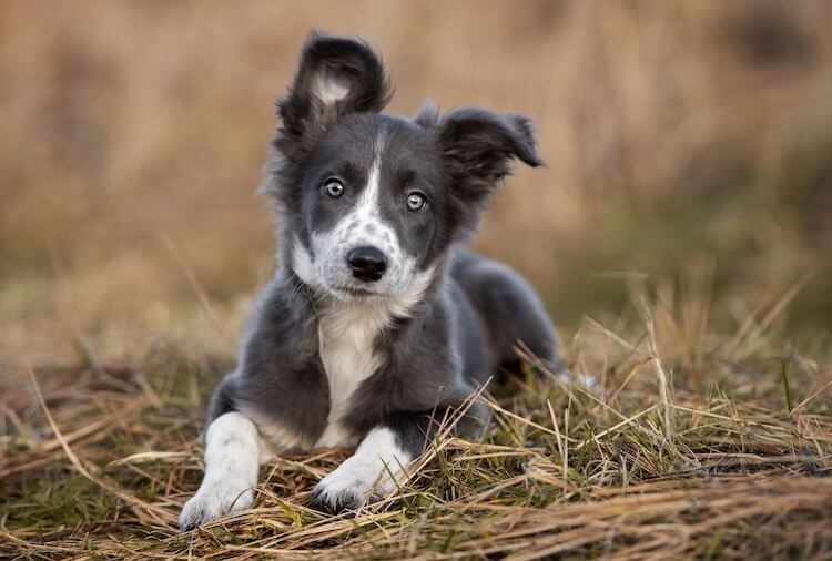 Jeune Border Collie