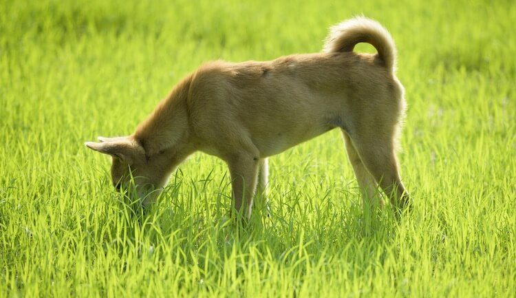 Young Puppy Eating Grass