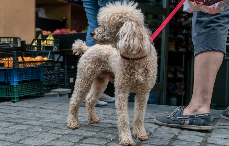 Corded Poodle Coat