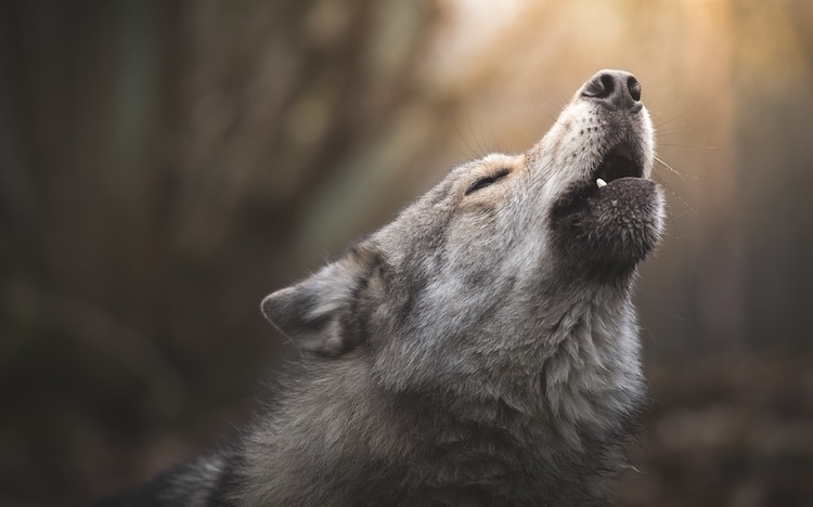 Dog Howling At The Night Sky