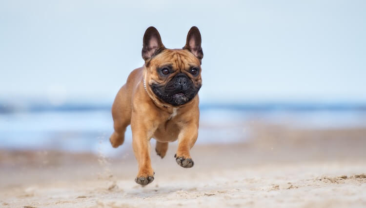 French Bulldog Running On The Beach