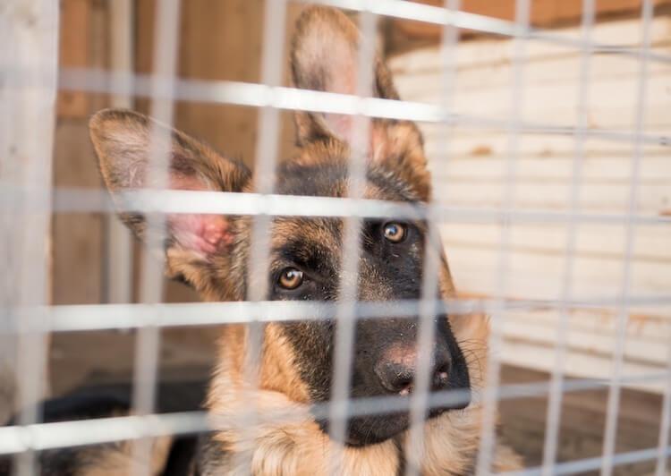 German Shepherd Dog In A Crate