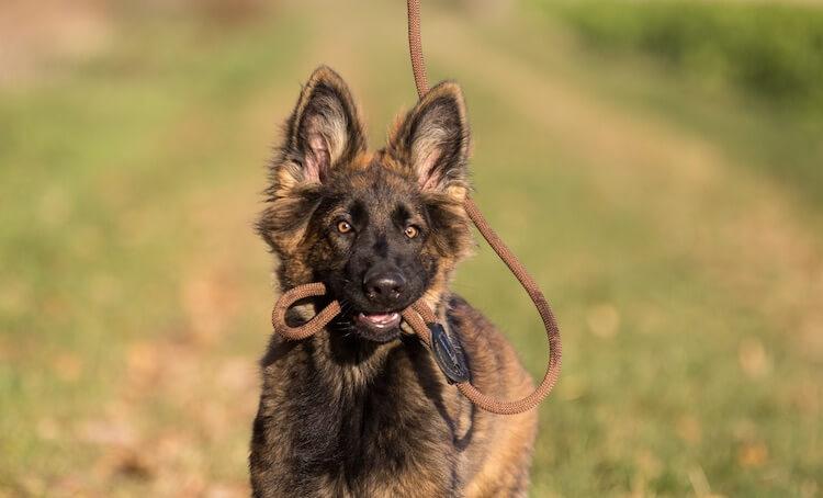 German Shepherd Holding Leash