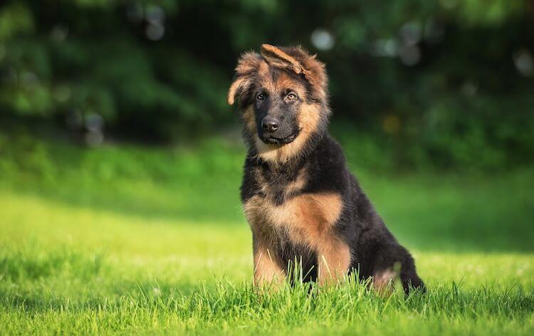 German Shepherd Puppy Sitting
