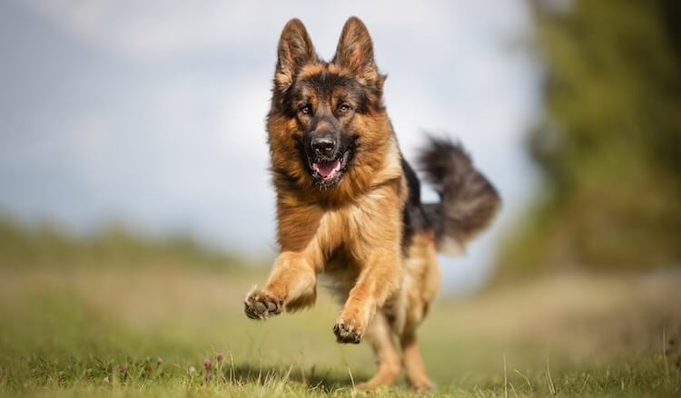 German Shepherd Running Back