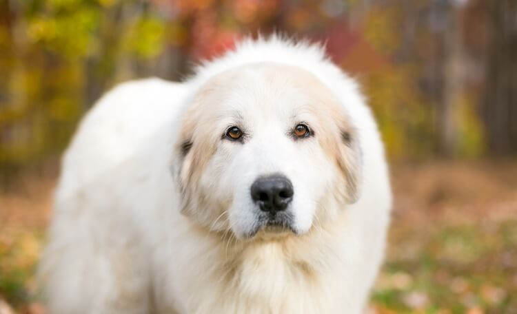 Great Pyrenees Face