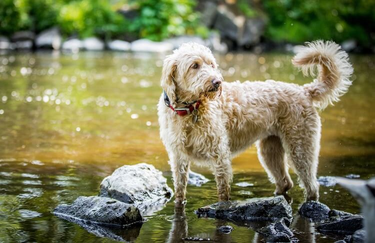 Labradoodle Swimming