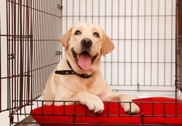 Labrador In A Crate