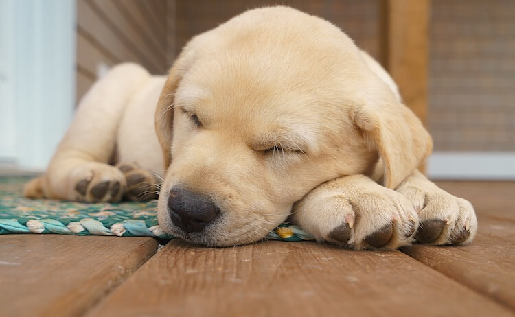 Labrador Puppy Sleeping