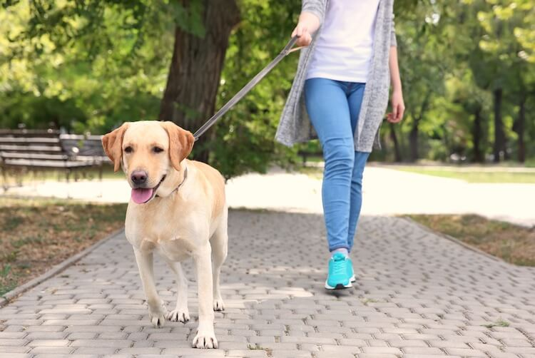 Labrador Retriever Pulling On Leash