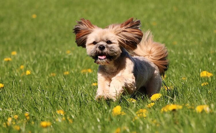 Lhasa Apso Dog Running