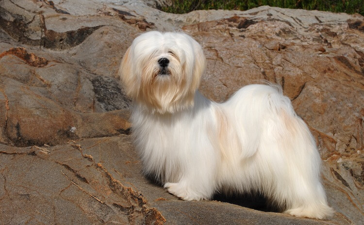 Lhasa Apso On The Rocks