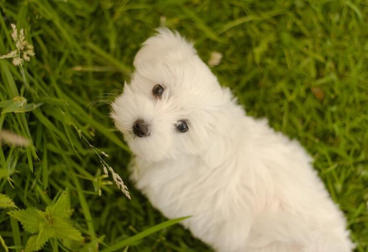 Maltese Dog Eating Grass