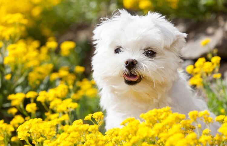 Maltese Dog Outside