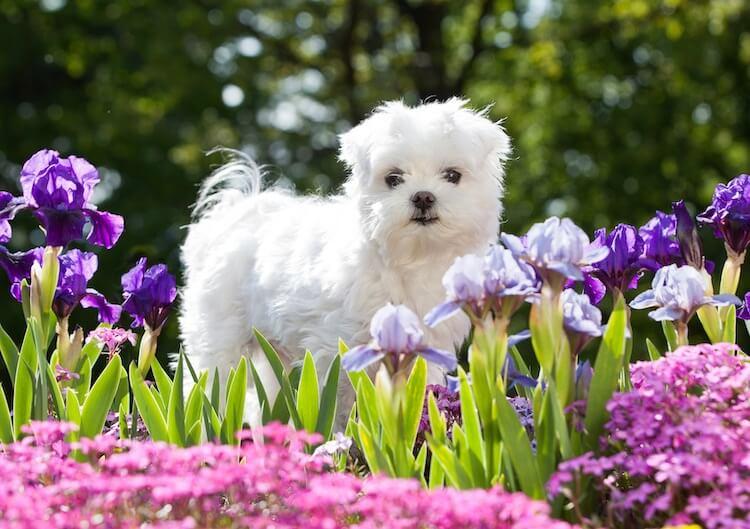 Maltese Dog Playing