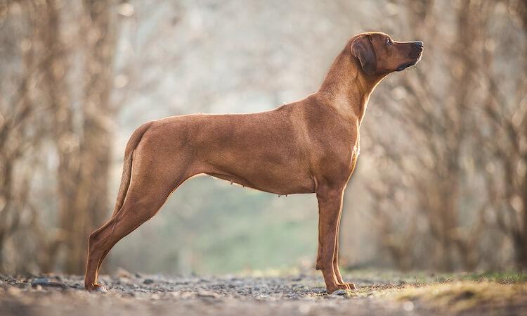 Rhodesian Ridgeback Side Portrait