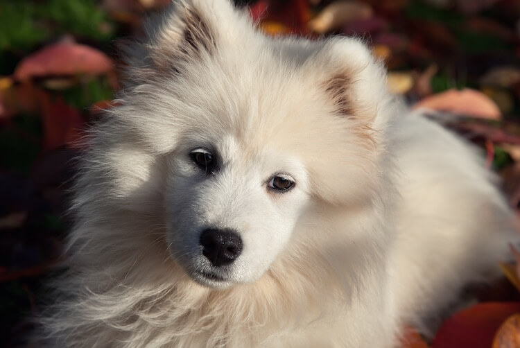Samoyed Face