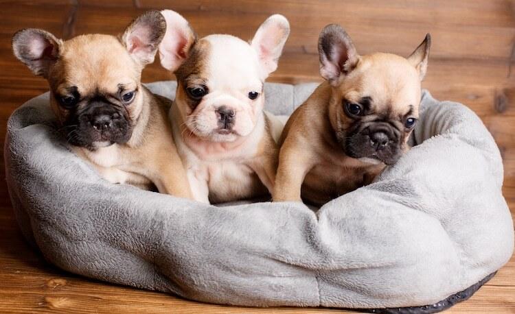 Three French Bulldog Puppies