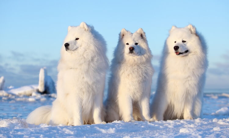 Three Samoyed Dogs