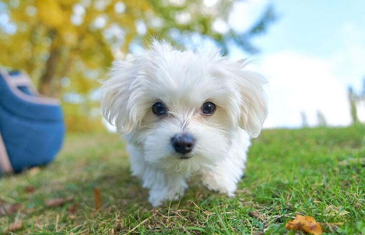 Training A Maltese To Come