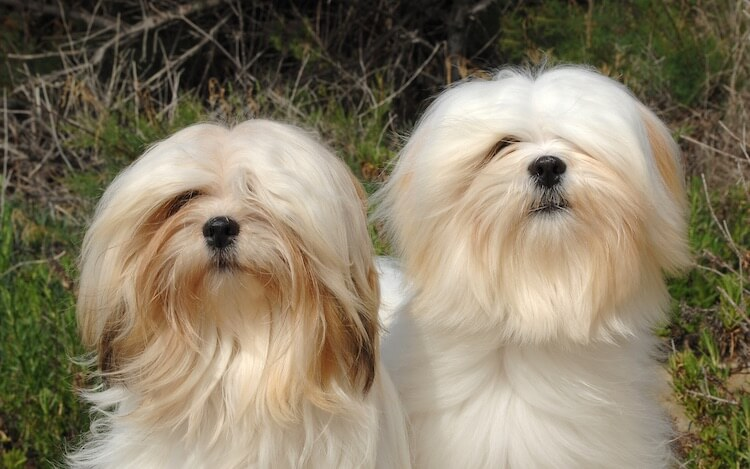 Deux chiens Lhassa Apso à poil long