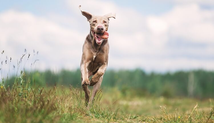 Weimaraner Dog Running