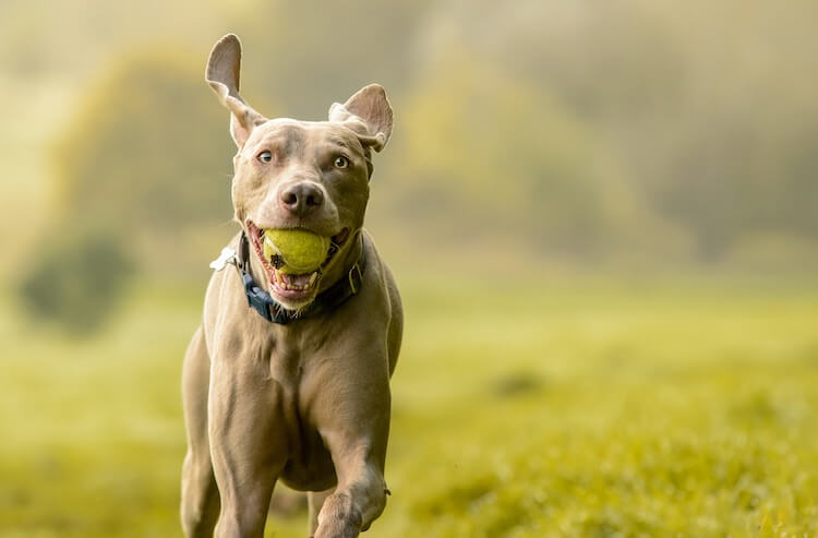 Weimaraner With A Tennis Ball In His Mouth