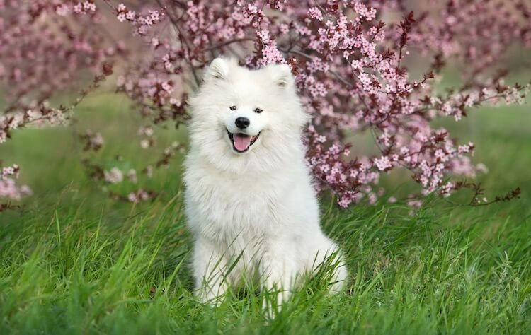 Young Samoyed Dog