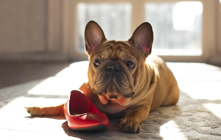 French Bulldog Chewing A Shoe