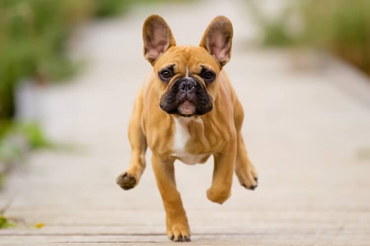 French Bulldog Running Back