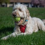 Goldendoodle Dog Playing In The Park