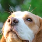 Lemon Beagle Headshot