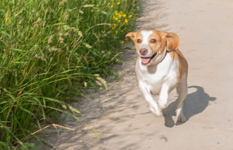 Lemon Beagle Running