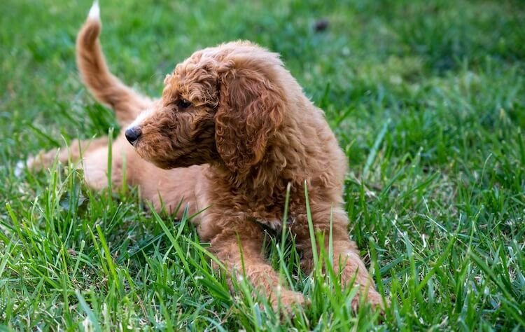 Mini Goldendoodle Dog